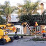 Moncada confía a FOVASA Medio Ambiente la poda de 125 ficus del casco urbano